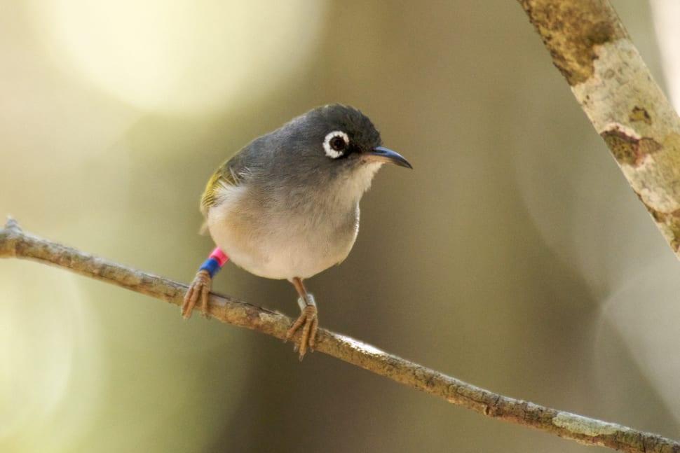 Mauritius Olive White-eye (Zosterops chloronothus)