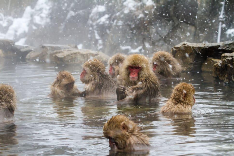 """Japanese macaques or """"Snow Monkeys"""" at Kambayashi Onsen"""