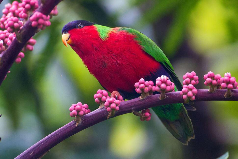 Collared Lory Breeding Season in Fiji - Best Season