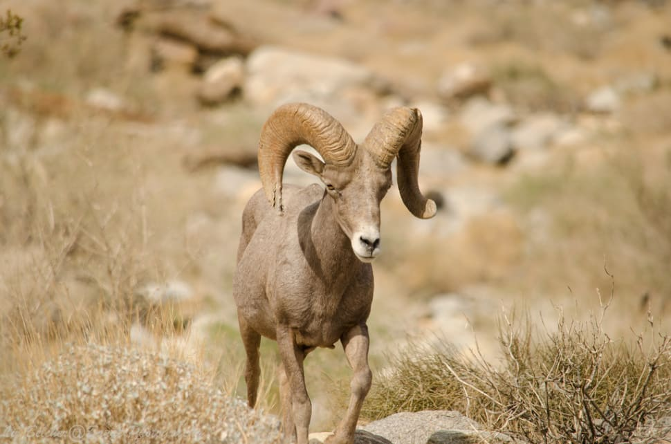 Big Horn Sheep in Los Angeles - Best Time