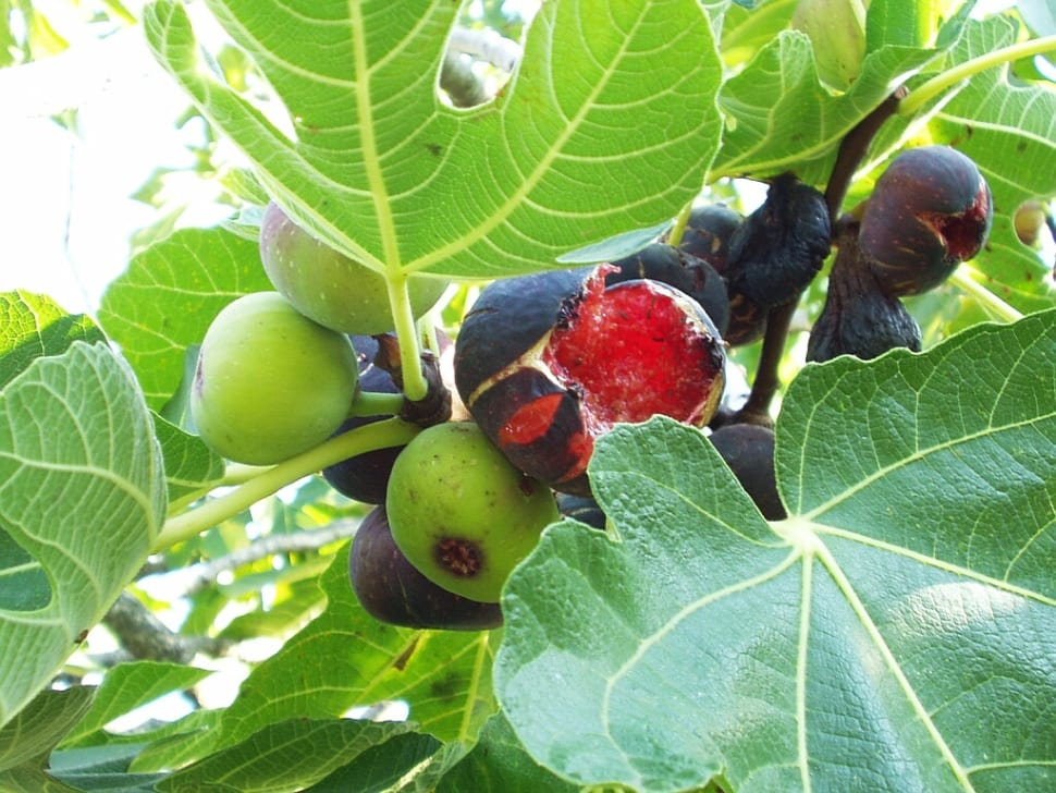Wild Figs in Croatia - Best Time