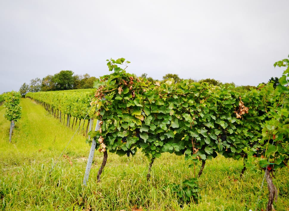 Best time for Grape Harvest in Vienna