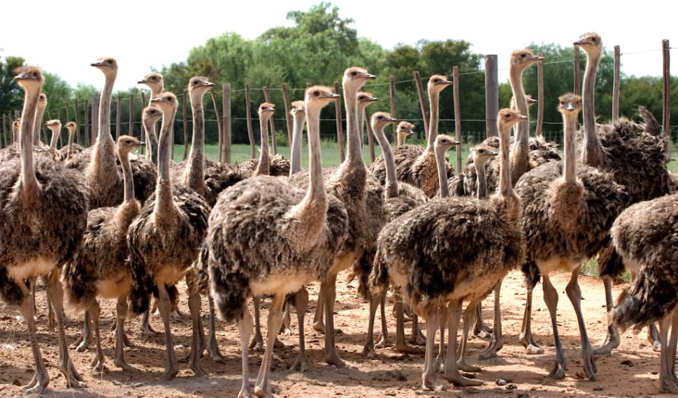 Best time for Oudtshoorn Ostriches in South Africa