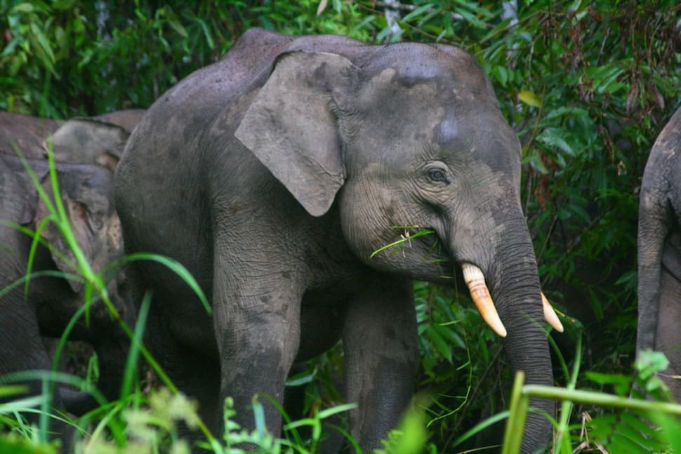 Pygmy Elephants in Malaysia - Best Season