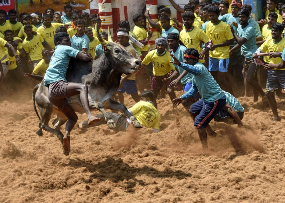 Best time to see Jallikattu in India