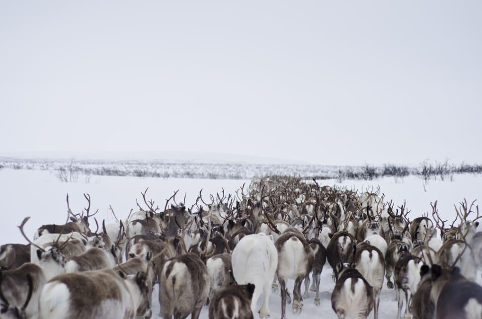 Reindeer Migration in Norway - Best Season