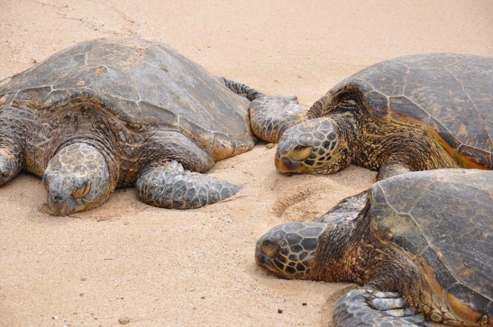 Laniakea or Turtle Beach in Hawaii - Best Time