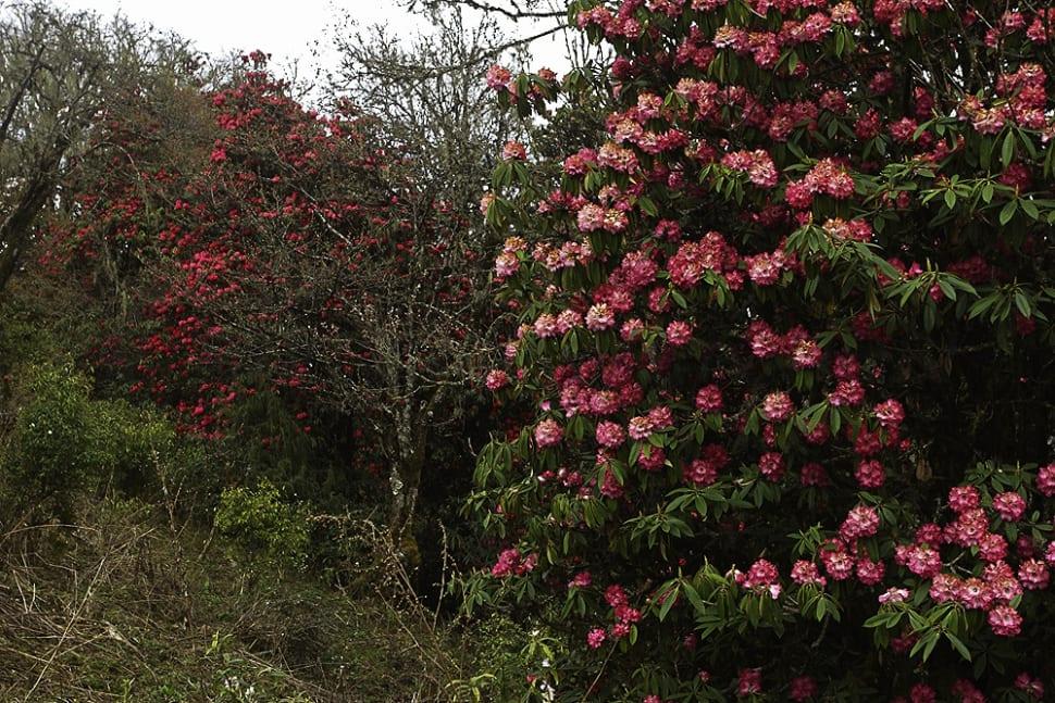 Blooming Rhododendrons in Bhutan - Best Season