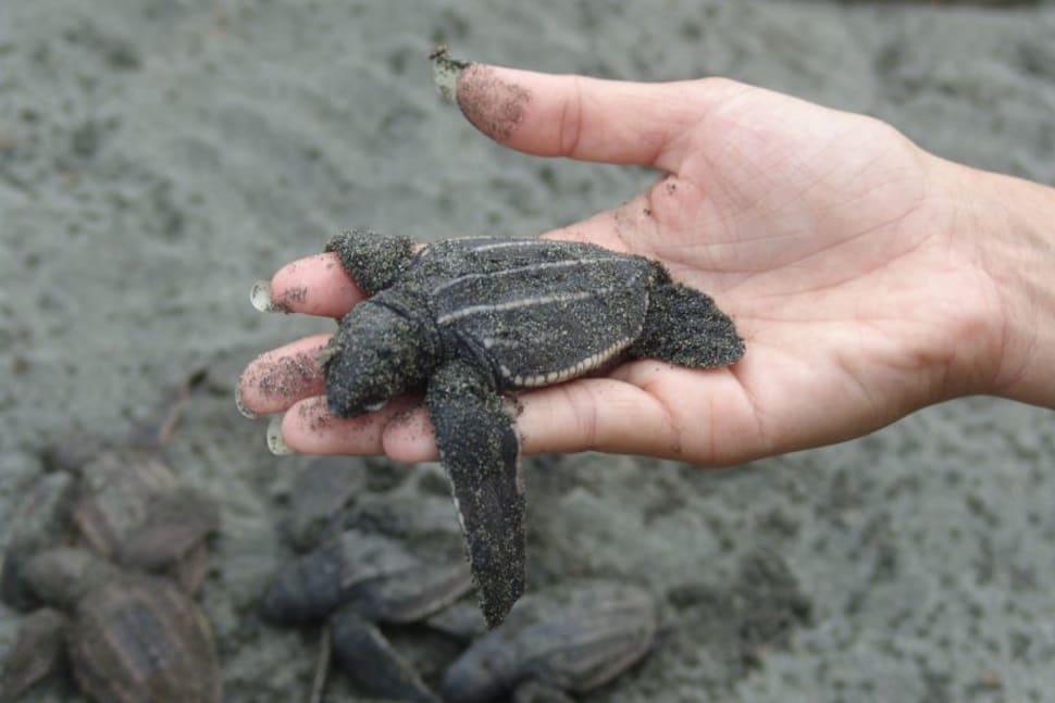Watching Sea Turtles in Panama - Best Season