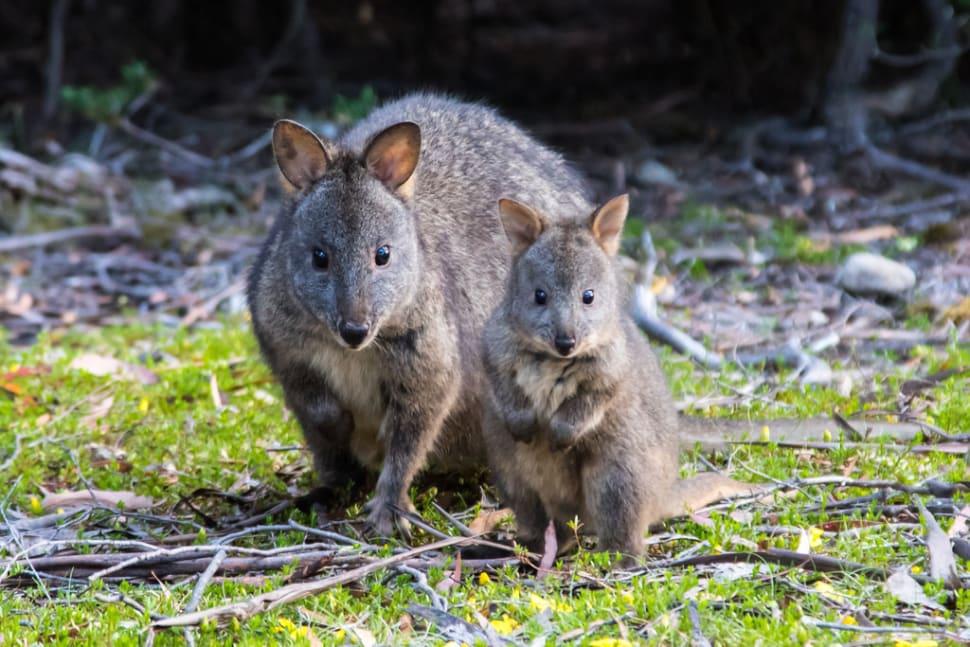 Pademelon in Tasmania - Best Time