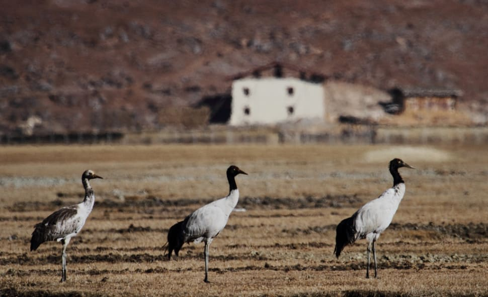 Things to do in Bhutan : Black-Necked Cranes