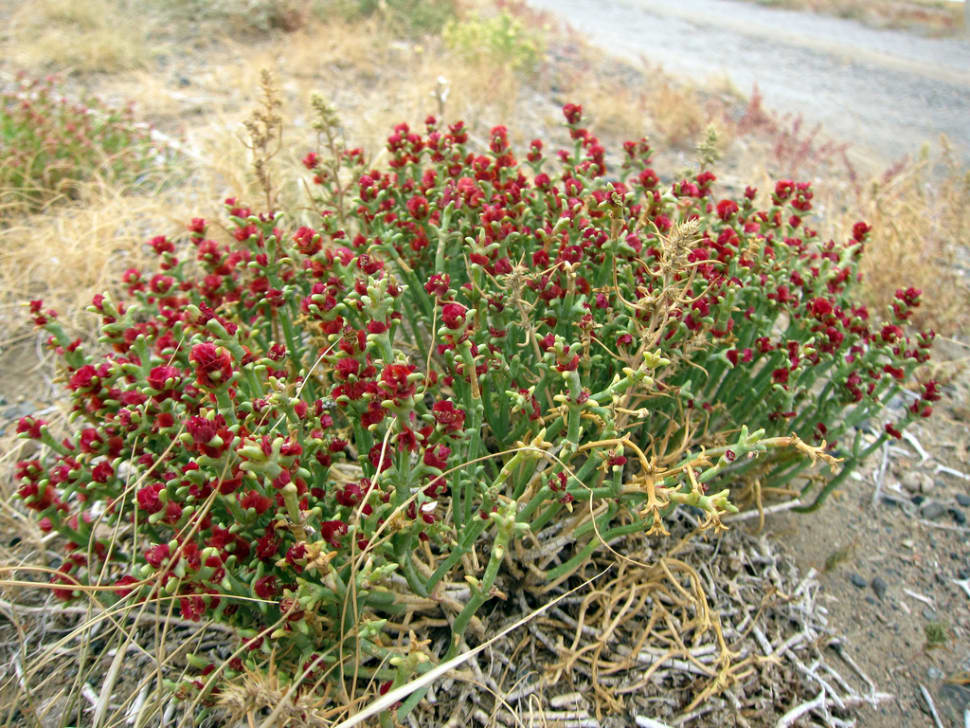 Red steppe flowers
