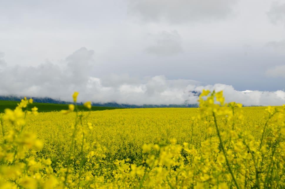 Mustard Fields in Bloom in Switzerland - Best Time