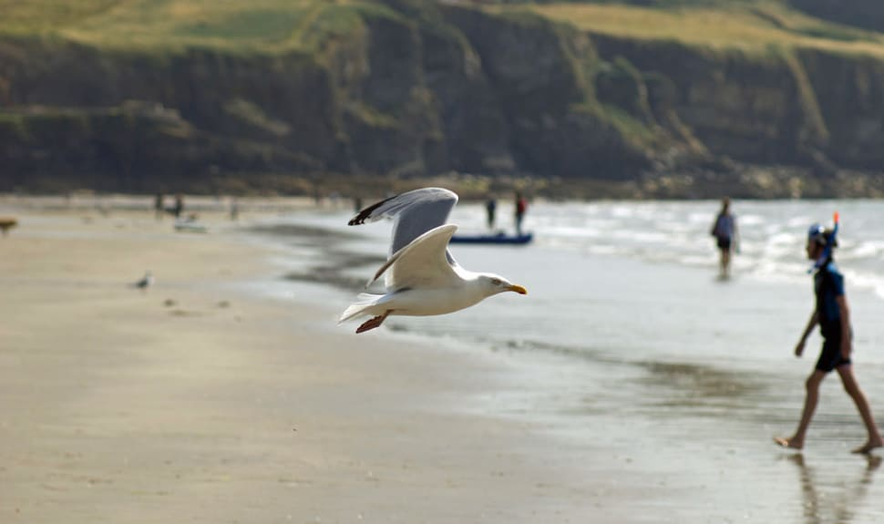 Seagull in Pembrokeshire, Wales