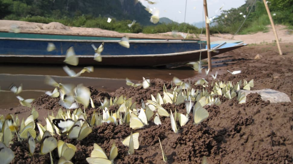 Butterflies in Nong Khiaw village, Luang Prabang province
