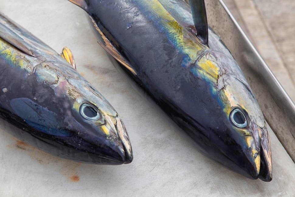 Tuna Fishing Season in Fiji - Best Time