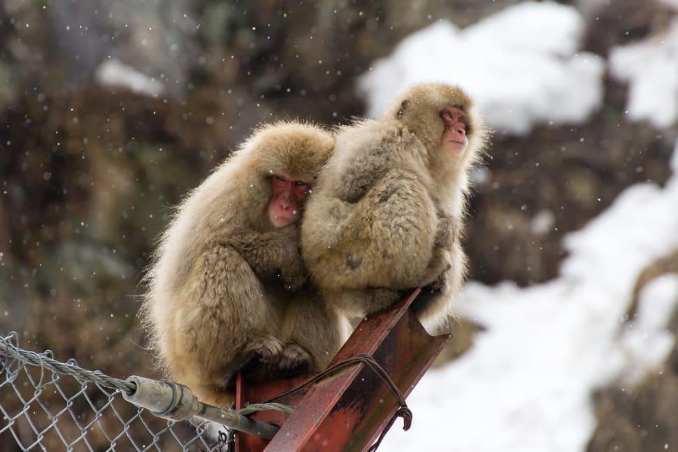 Snow Monkeys in Japan - Best Season