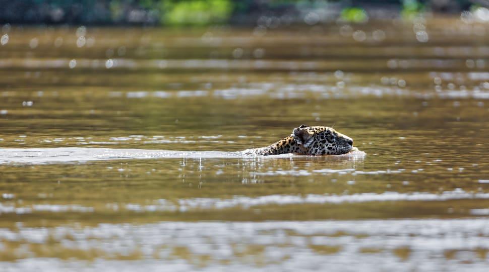 Mother jaguar crossing the river