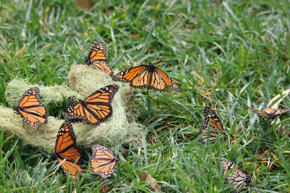 Best time for Monarch Butterflies in California