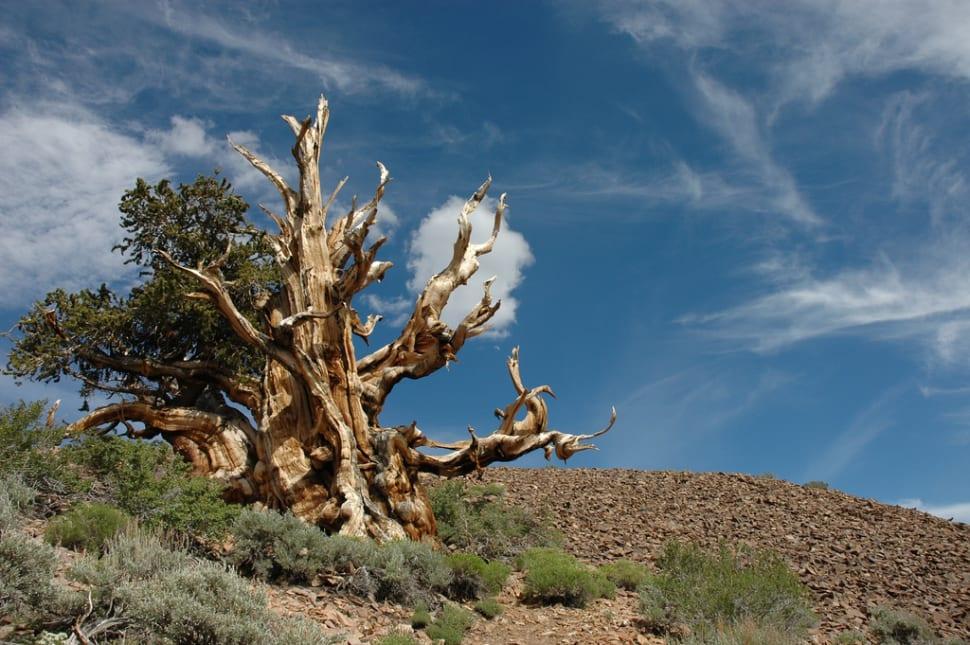 Bristlecone Pines in California - Best Season