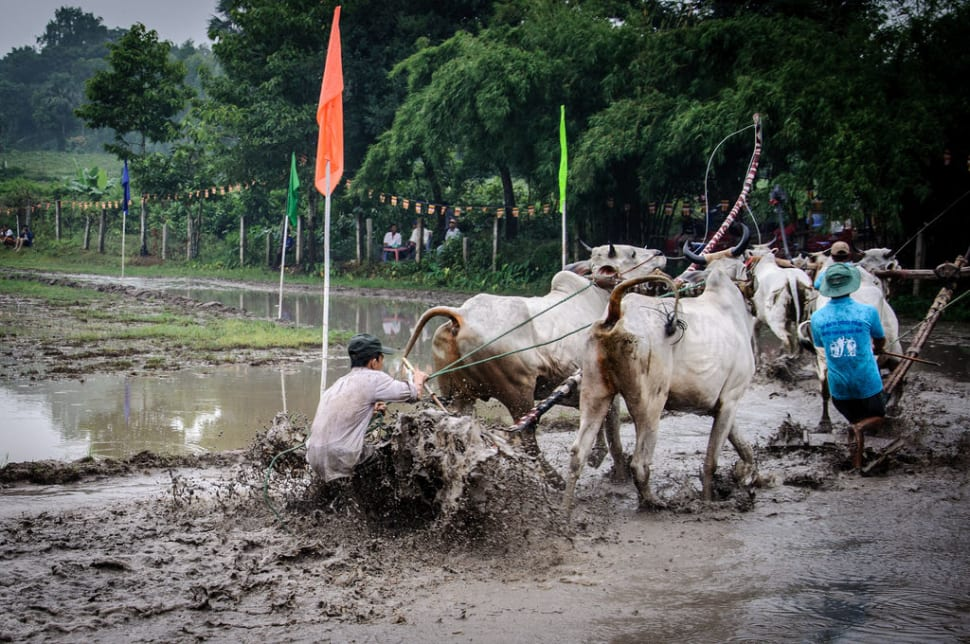 Best time for Cow Racing Festival in Vietnam