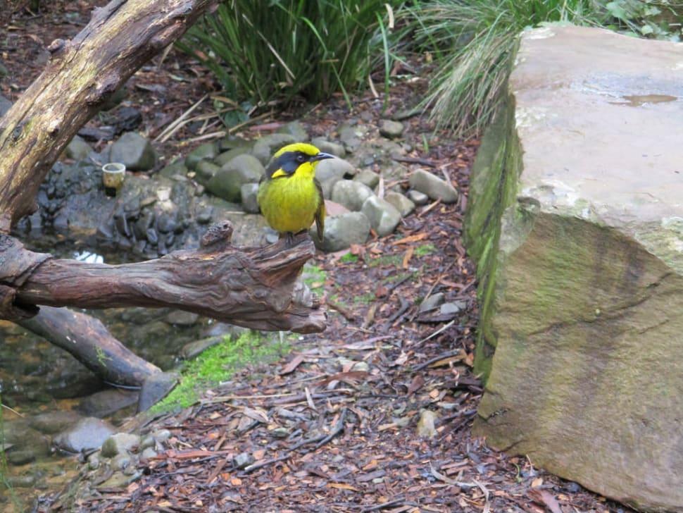 Helmeted Honeyeater in Healesville Sanctuary