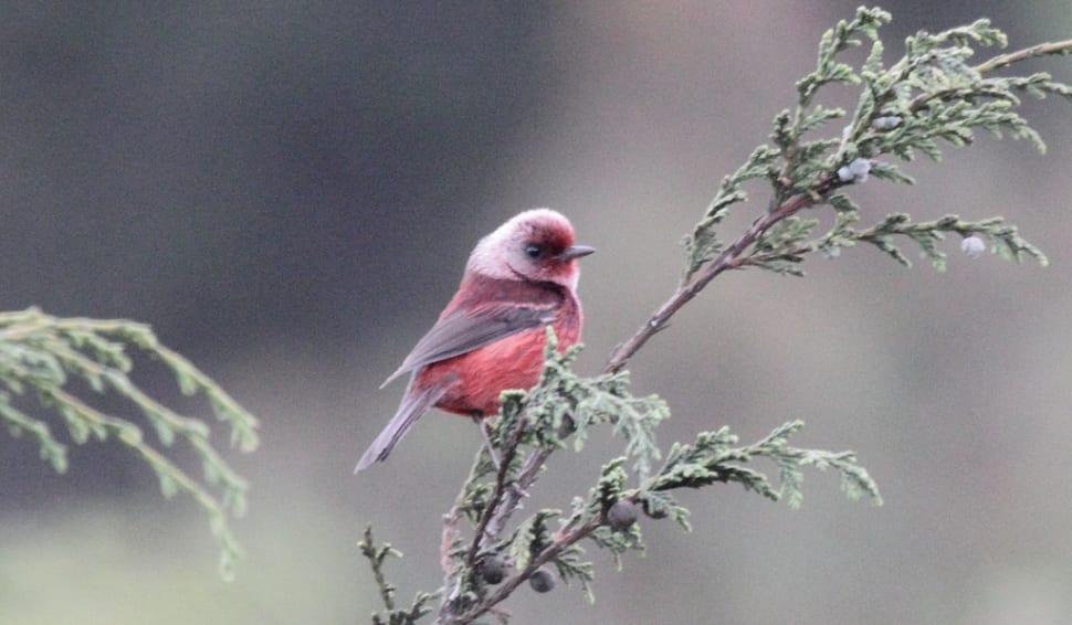 Pink-headed Warbler (Ergaticus versicolor)