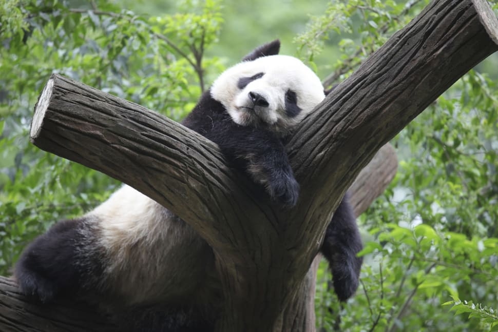 Best time for Giant Pandas