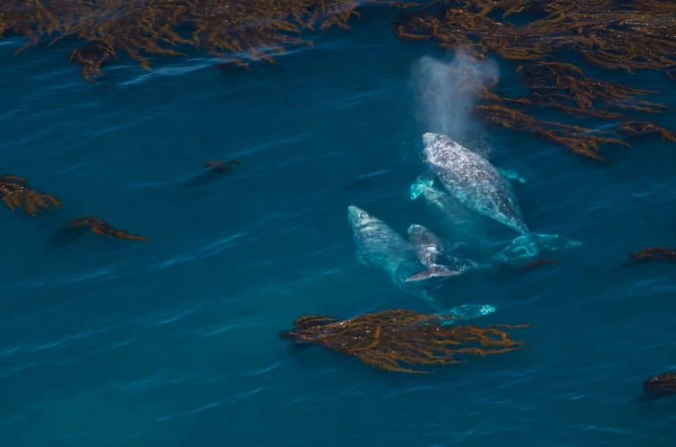 Gray Whale Migration