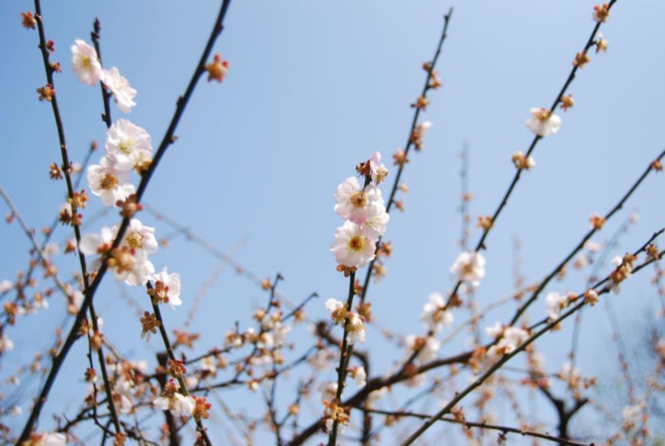 Peach Blossom in Shanghai - Best Time