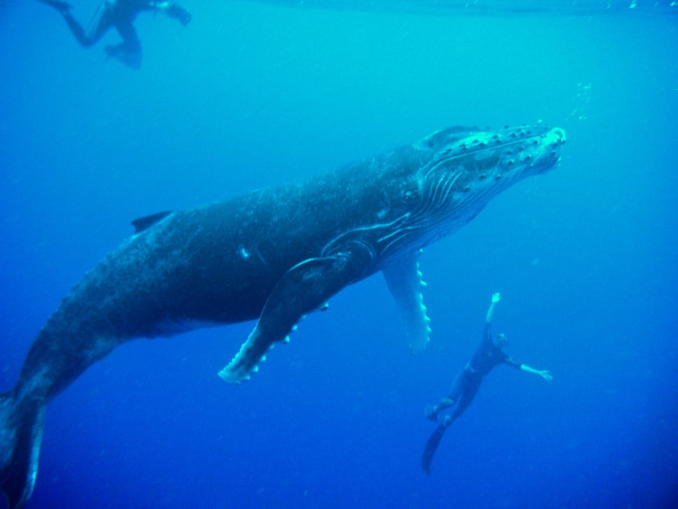 Humpback Whales in French Polynesia - Best Time
