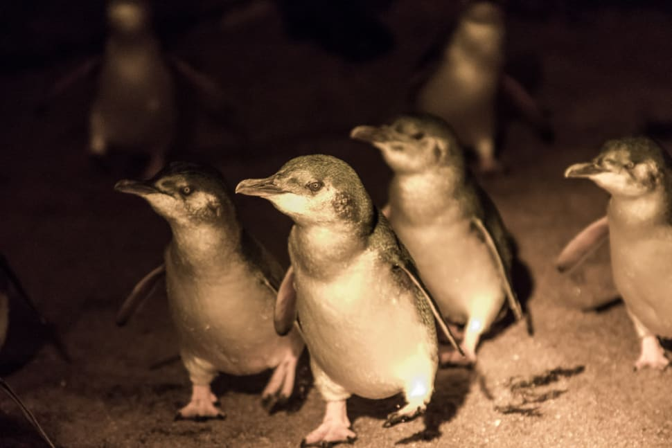 Watching World Smallest Penguins in Tasmania - Best Time