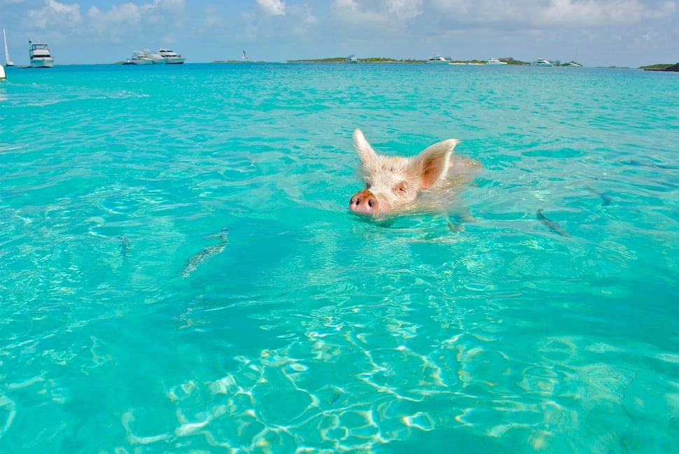 Best time for Swimming Pigs in Bahamas