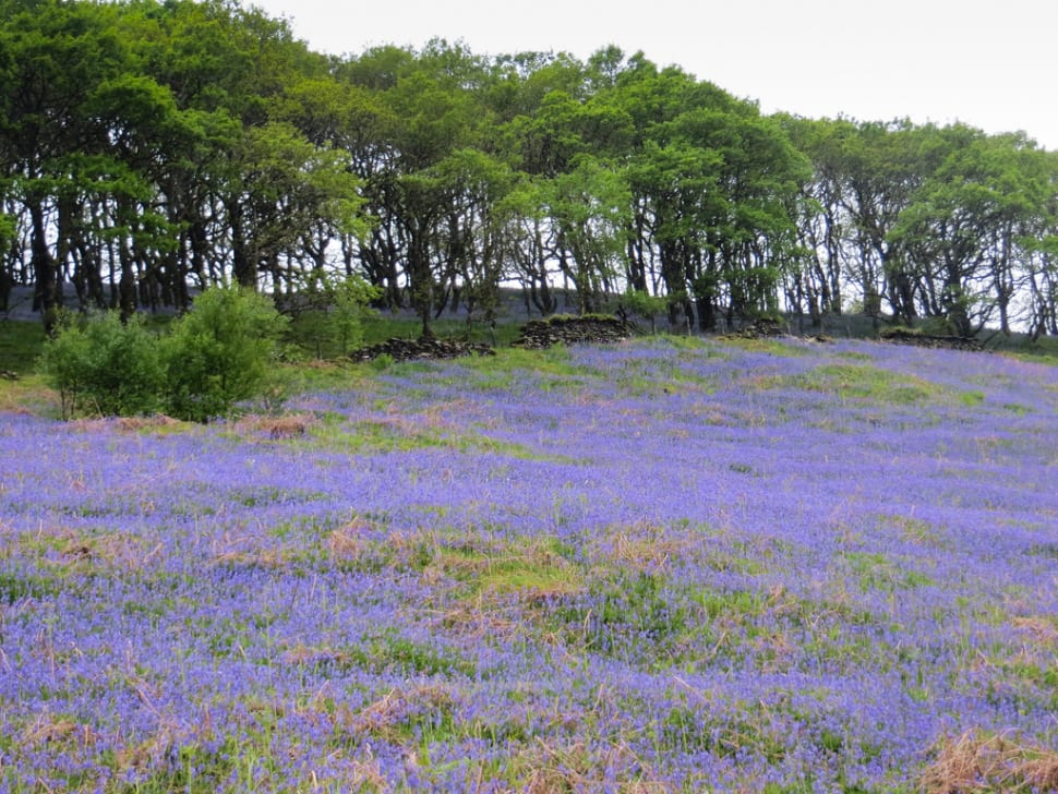 Best time for Bluebells in Bloom in Wales