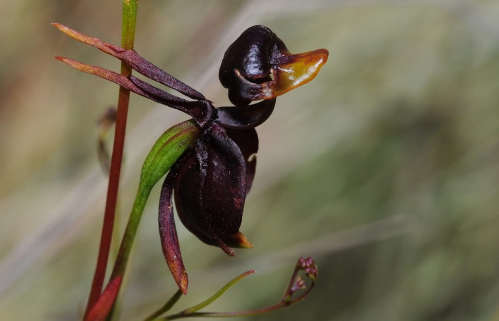 Flying Duck Orchid  in Victoria - Best Season