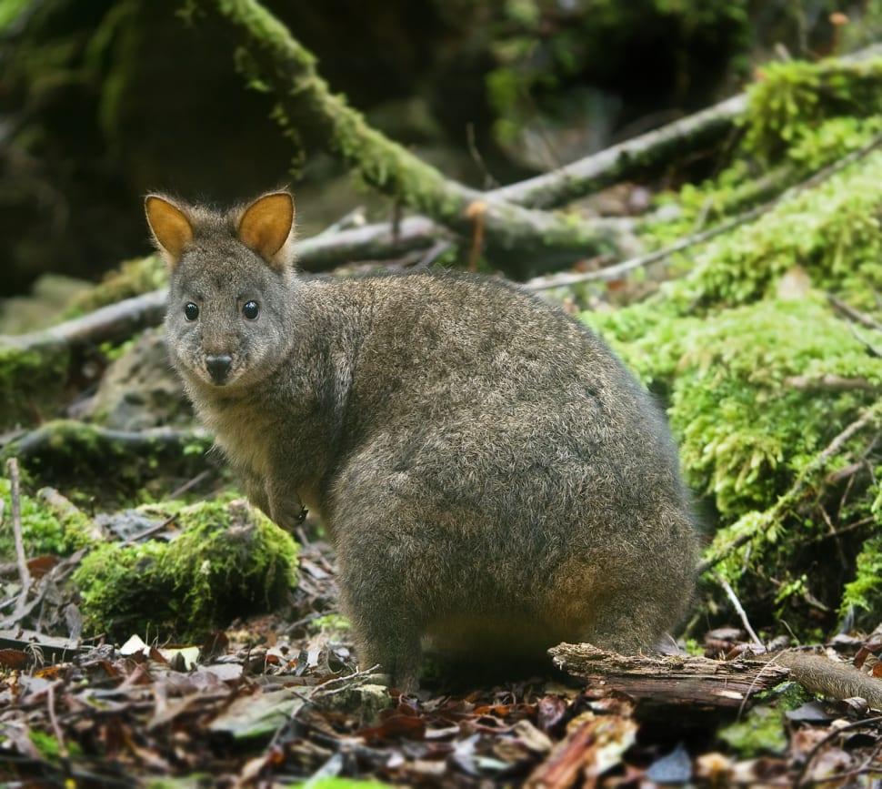 Pademelon in Tasmania - Best Season