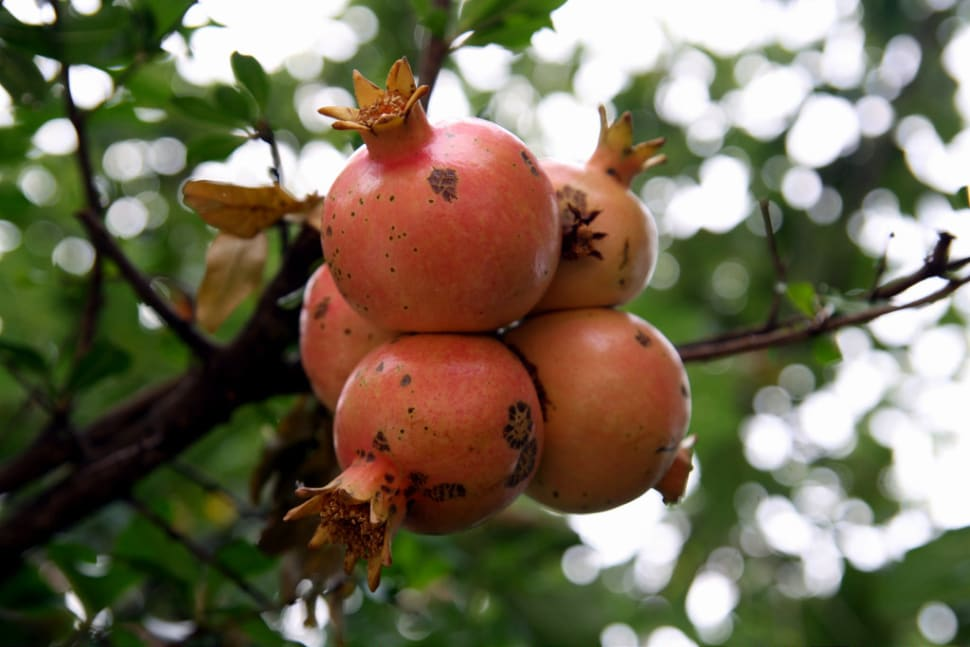 Pomegranate in Montenegro - Best Season