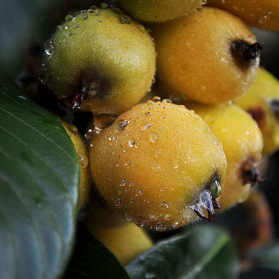Loquat Season in Los Angeles - Best Time