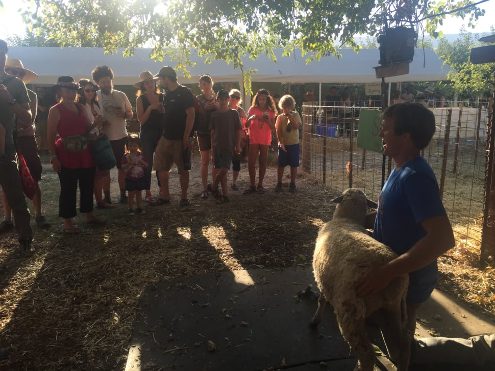 Demonstration of sheep shearing