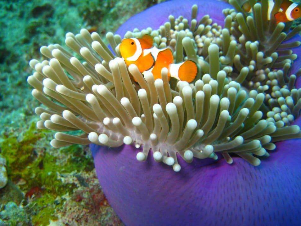 Clownfish off the Sipadan Island