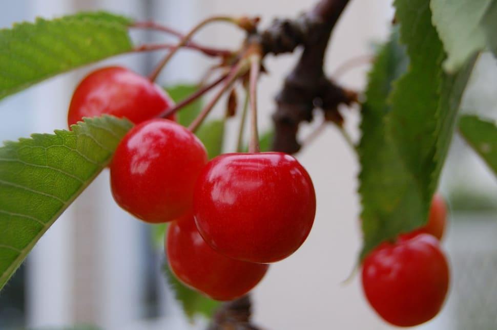 Satonishiki Cherries in Japan - Best Time