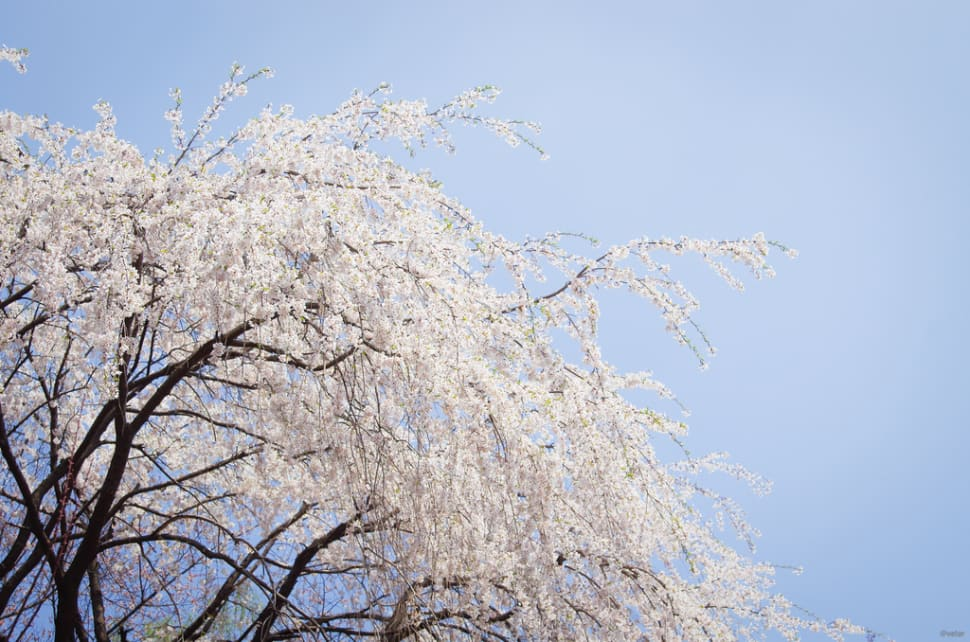 Weeping Cherry Blossoms in Seoul - Best Time