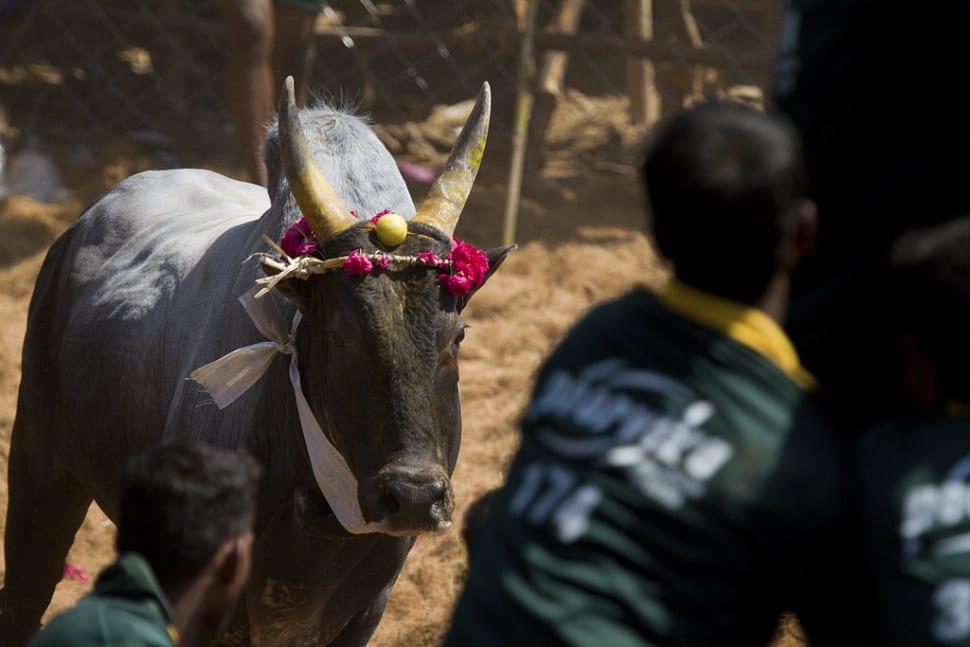 Jallikattu in India - Best Season