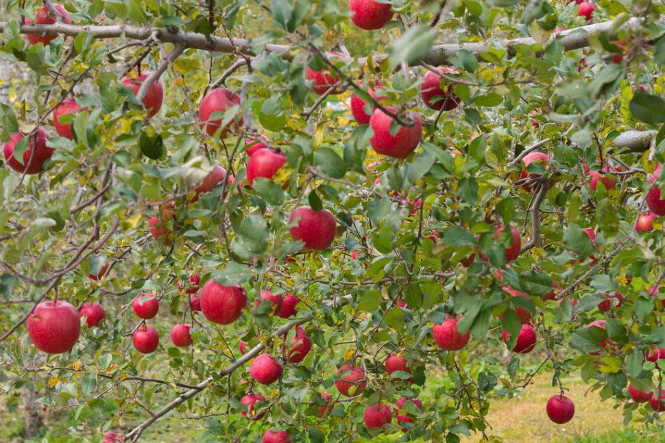 Fuji Apples in Japan - Best Season
