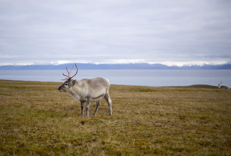 Best time to see Reindeer in Svalbard