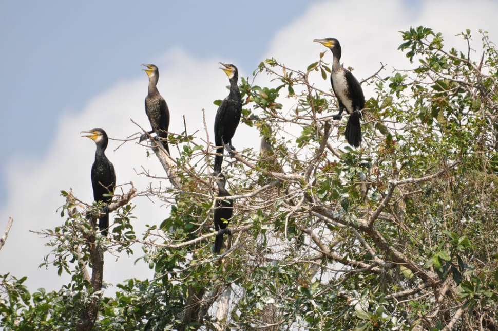 Great Cormorants on a tree