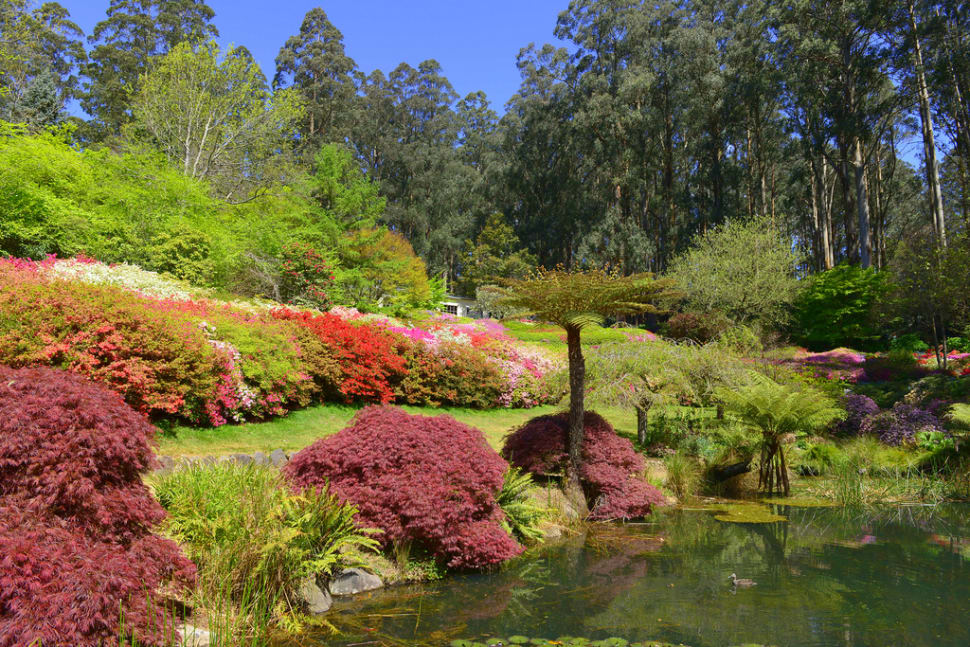 Best time to see Rhododendron Blooming in Dandenong Ranges Botanic Garden in Victoria