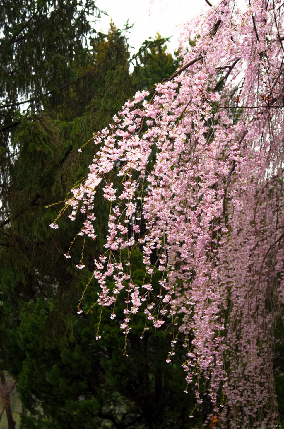 Weeping Cherry Blossoms in Seoul - Best Season