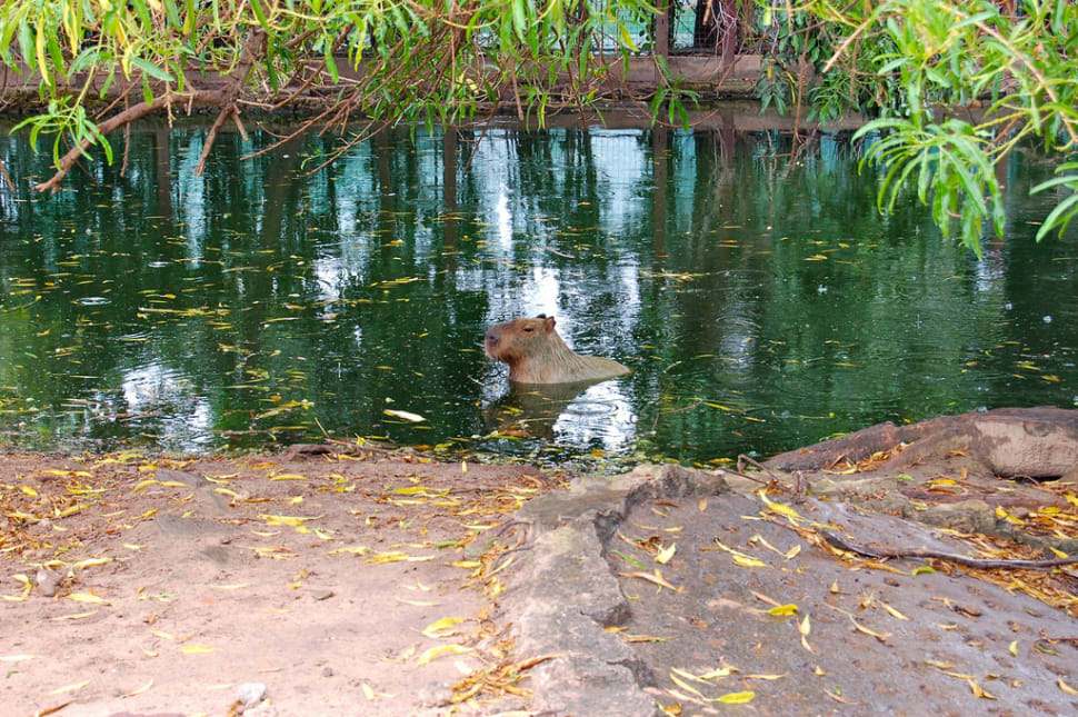 Best time for Capybara in Bolivia