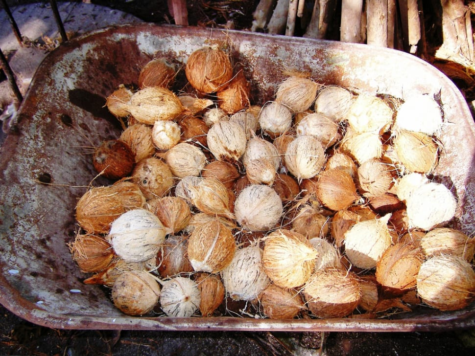 Coconuts in Maldives - Best Season